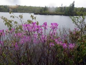 Rhodora in full bloom on The Bluff Trail, June 6, 2015