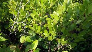 Huckleberries in Five Bridge Lakes Wilderness Area, Sep 16