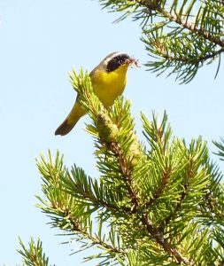 Yellow-throat warbler, male